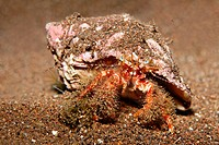 West_African Hermit Crab, Dardanus pectinatus, Madeira, Portugal, Europe, Atlantic Ocean