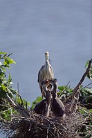 Grey herons family