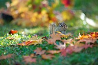 Chipmunks in autumn leaves