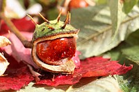 Horse Chestnut (Aesculus hippocastanum), split fruit capsule on autumn-coloured leaves