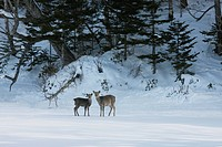 Yezo Deer and fawn