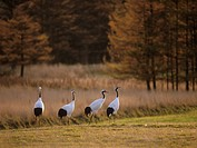 Red_crowned cranes in the morning