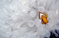 Tomato Clownfish, Bridled Clownfish, Red Clownfish or Tomato Anemonefish (Amphiprion frenatus), hiding in a Bubble-tip Anemone (Entacmaea quadridolor)...