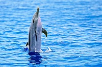 pantropical spotted dolphin, Stenella attenuata, juvenile, jumping, offshore, Kona Coast, Big Island, Hawaii, USA, Pacific Ocean