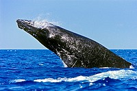 humpback whale, Megaptera novaeangliae, in competitive group, breaching, head-lunging, jaw clapping or chin slapping, Hawaii, USA, Pacific Ocean