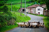 Sheep flock on the road  Mendive  Pyrénées-Atlantiques, France
