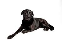 Black Labrador in front of white