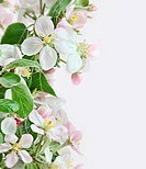 Spring apple blossoms on soft pink background