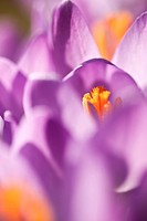 violet spring crocus in the sun close up