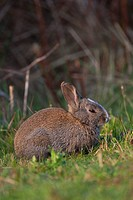 Hybrid between a wild rabbit Oryctolagus cuniculus and a domestic rabbit Oryctolagus cuniculus forma domestica, Texel, The Netherlands, Europe