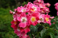 Dog rose (Rosa canina), flowers