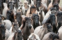 Duelmen Ponies, wild herd of horses, Germany