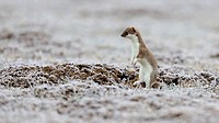 Stoat, ermine or short-tailed weasel (Mustela erminea), in summer coat, with hoar frost, standing up, Biosphaerenreservat Schwaebische Alb biosphere r...
