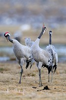 Common or Eurasian Cranes Grus grus, at roost, birds calling, Lake Hornborga, Hornborgasjoen, Vaestergoetland, Sweden, Scandinavia, Europe
