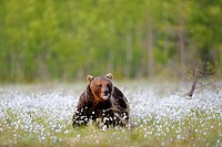 Brown bear (Ursus arctos), Finnish marshland with cotton grass, Karelia, eastern Finland, Finland, Scandinavia, Europe