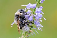 Bumble bee (Bombus), Dessau, Saxony-Anhalt, Germany, Europe