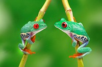 Red-eyed treefrogs (Agalychnis callidryas) sitting on a branch opposite each other, in love
