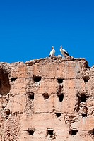 couple of white storks on the top of old wall of Marrakech