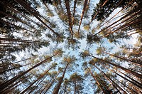 Spherical view of the pine tree forest tops
