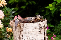 Young Nuthatches with mother
