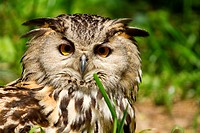 Portrait of eagle_owl bubo bubo