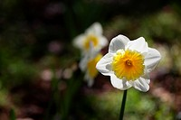 Single daffodil with soft focus daffodils in a dark background