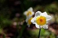 Single daffodil with soft focus daffodils in a dark background
