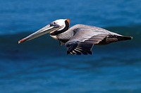 Brown pelican Pelecanus occidentalis in flight, Ellen Browning Scripps Marine Park, La Jolla, Callifornia