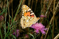 Painted Lady Vanessa cardui on a flower
