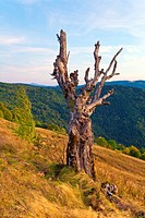 beautiful evening autumn mountain and dry tree trunk on mountainside Carpathian. Ukraine