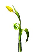 Yellow tulip in test tube