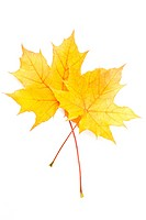 Autumn yellow maple leaf isolated on white background