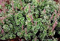 A variegated form of Cuban oregano Plectranthus amboinicus in flower.