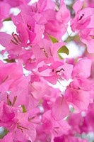 Sunlight pink bougainvillea