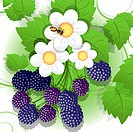 illustration, big hand of ripe blackberry and flower, EPS10 gradients and transparencies