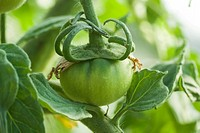 closeup of green unripe tomato in greenhouse