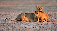 Lioness with young lion cub Panthera leo in early morning light, Kalahari desert, South Africa