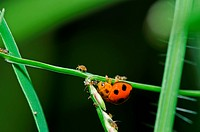 ladybug in green nature or in garden