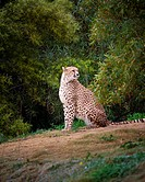 Cheetah in captivity in a zoo sitting down