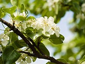 white pear blossoms on a tree branch