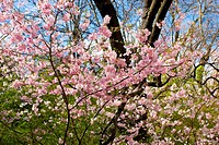 Pink blooming trees against blue and green at spring background