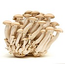 Abstract clump of Brown beech mushrooms  Buna Shimeji isolated on white.