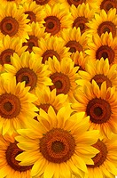 Beautiful large yellow sunflower petals