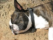 Boston terrier lying on sand sleeping