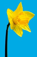 close up of a wild daffodil Narcissus pseudonarcissus