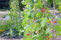 runner bean plants climbing up canes at an allotment