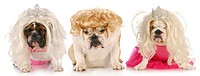 three divas _ english bulldogs with sour expressions wearing female clothing on white background