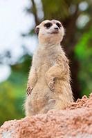 portrait of meerkat