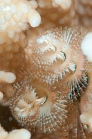 Macro Shot of a Christmas tree worm spirobranchus giganteus.