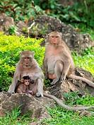 Monkey family Macaca fascicularis at khao wang ,Petchburi Thailand